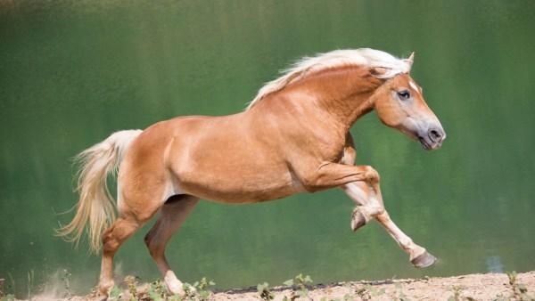 Haflinger é uma bela raça de cavalos pequenos e de cor caramelo