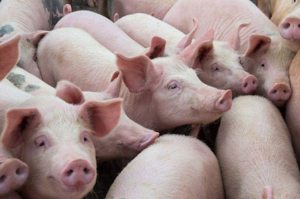 Raças de porco