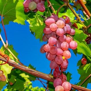 Uva crimson é uma variedade de uva sem semente