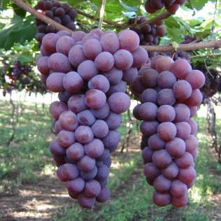 Uva niagara é um dos tipos de uva mais vendidos no Brasil