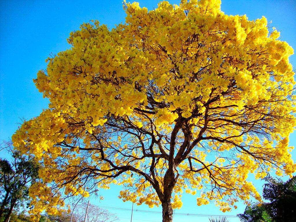 caducifolia