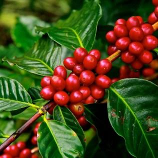 Broca-do-café causa danos ao grão, mas controle diminui prejuízos