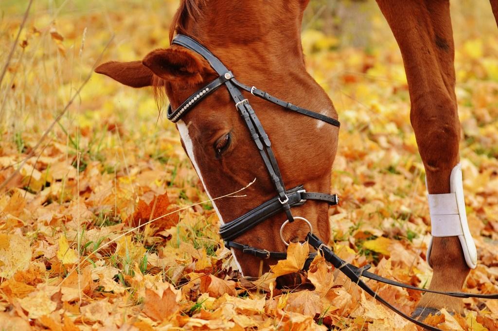 cavalo comendo com possibilidade de cólica equina