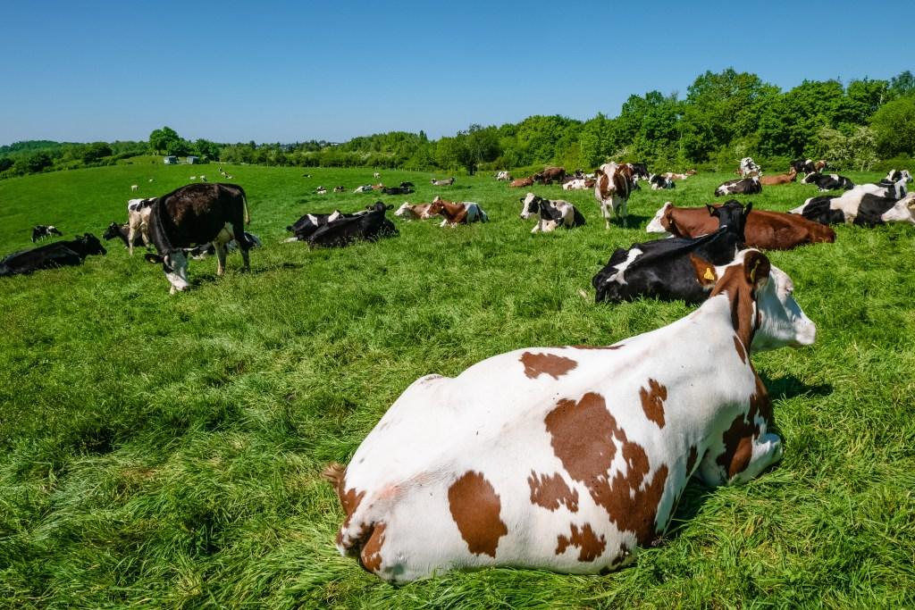 anemia em bovinos