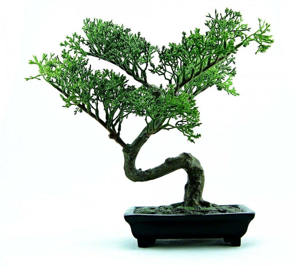 bonsai junípero com fundo branco
