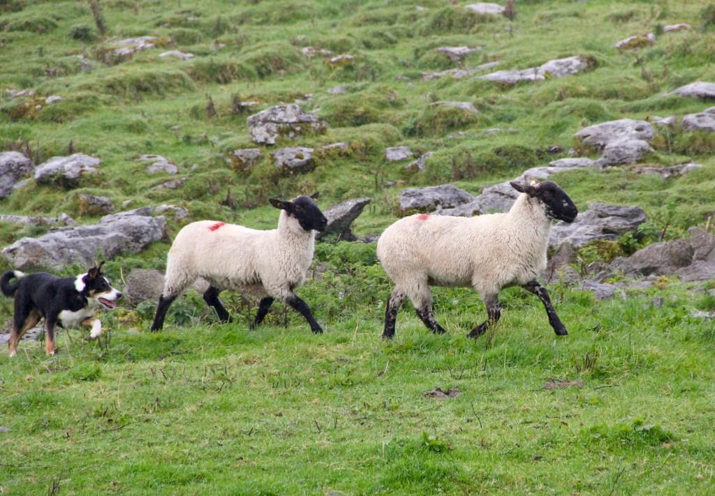 ovelheiro gaúcho conduzindo ovelhas