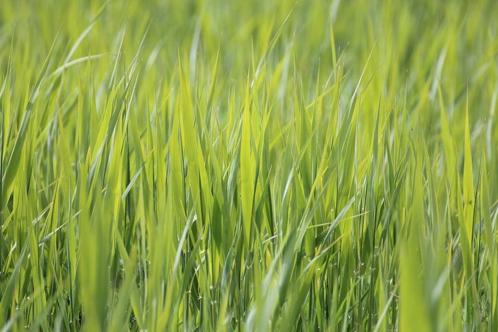 capim verde para gado, parte da pastagem de verão