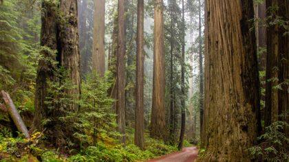 Sequoia e a beleza de árvores gigantes