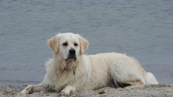 O kuvasz é um cachorro inteligente, leal e ótimo para pastoreio