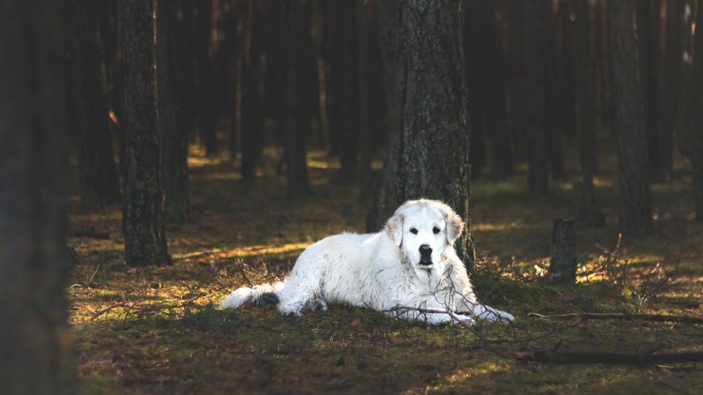 cachorro da raça kuvasz deitado no campo, embaixo das árvores