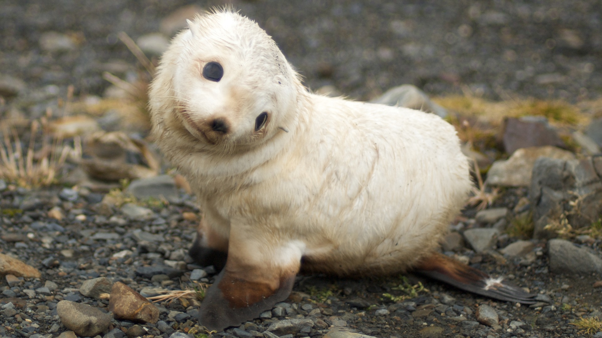 Baby Seal Wallpaper Seals Animals Wallpapers in jpg format for free     Baby Seal Wallpaper Seals Animals Wallpapers