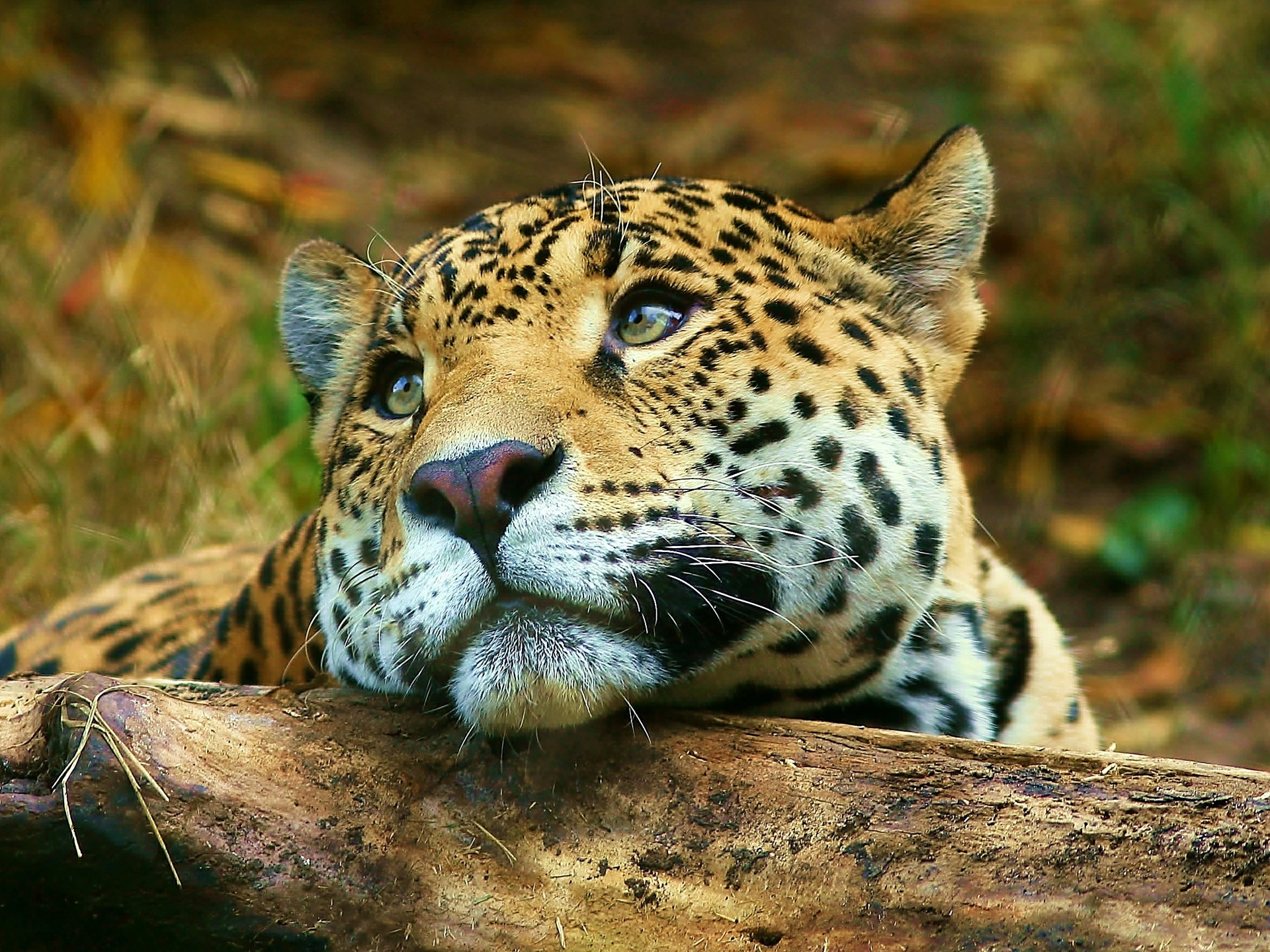 leopard daydreaming wallpaper big cats animals wallpapers in jpg