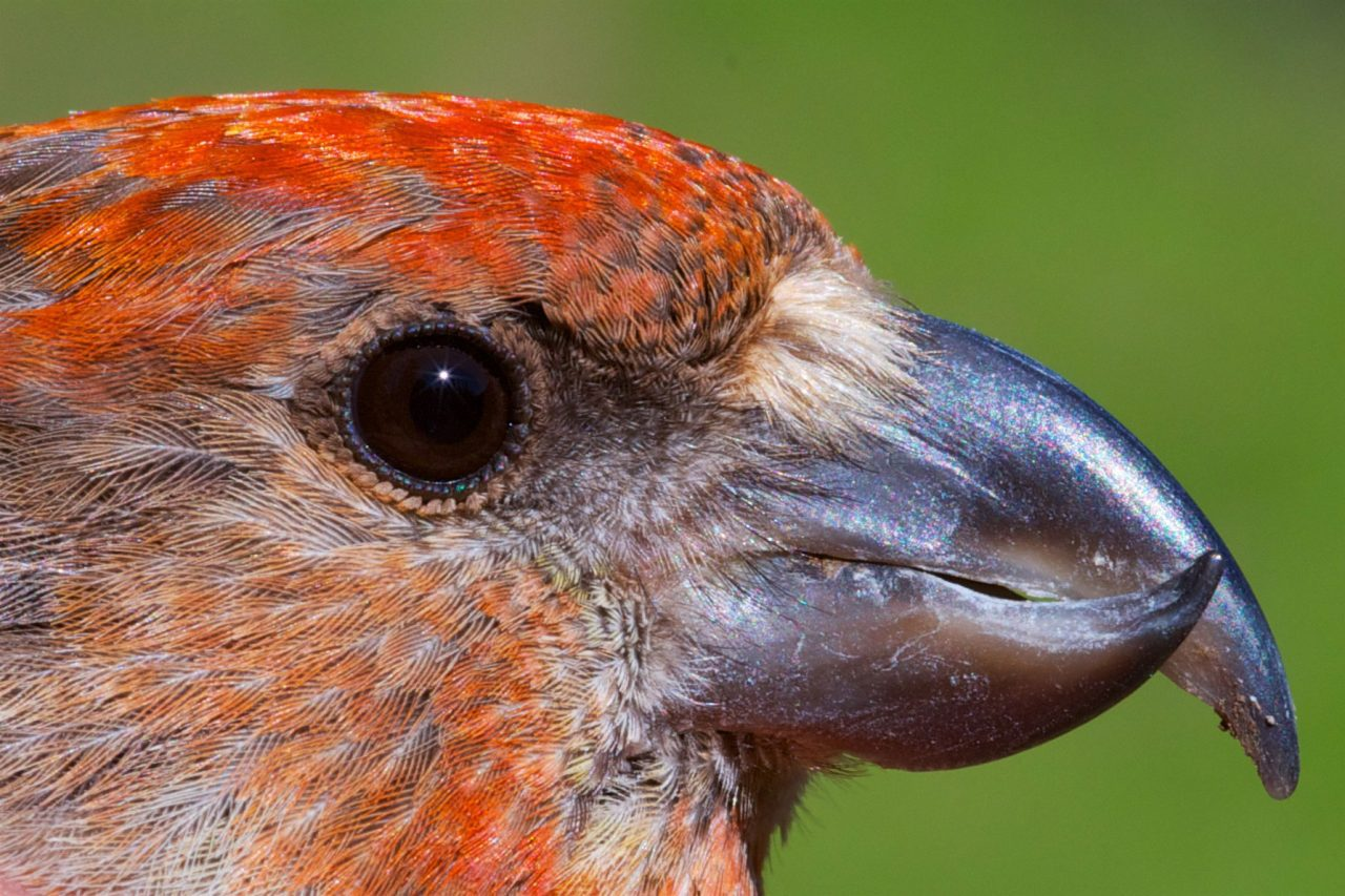 Gallery Meet The New Cassia Crossbill