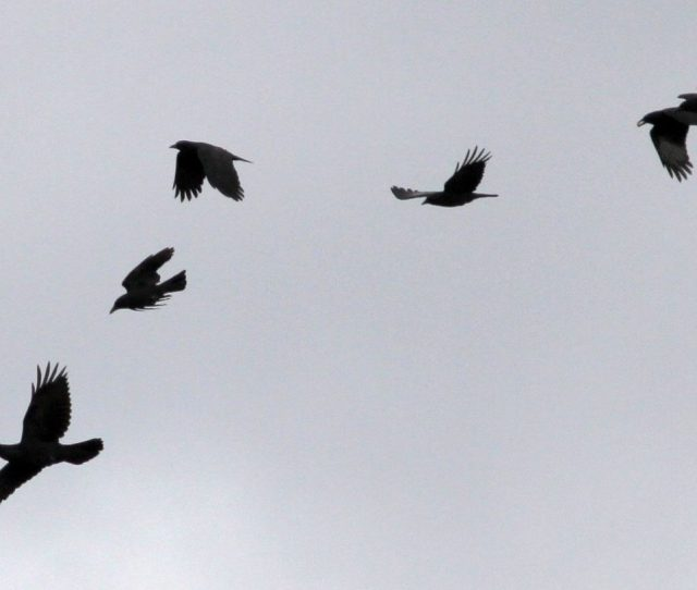 Crows Mobbing A Common Raven Far Left Photo By Kevin Mcgowan
