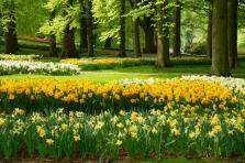 grass lawn with yellow daffodils in dutch garden Keukenhof , Holland