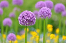 Purple allium flowers field with tiny blue flowers and yellow wallflowers