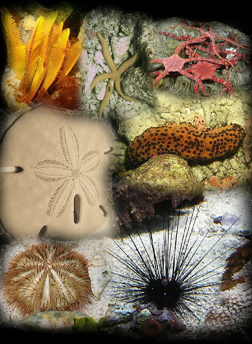 Image result for echinoderm