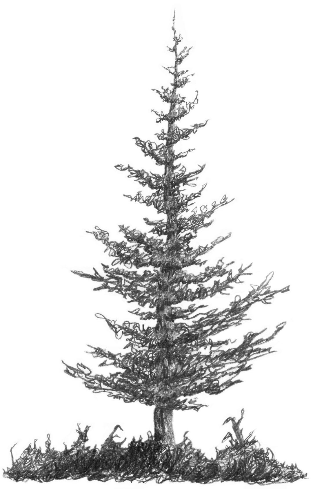 3 2 A2 Squirkle A Realistic Spruce Tree