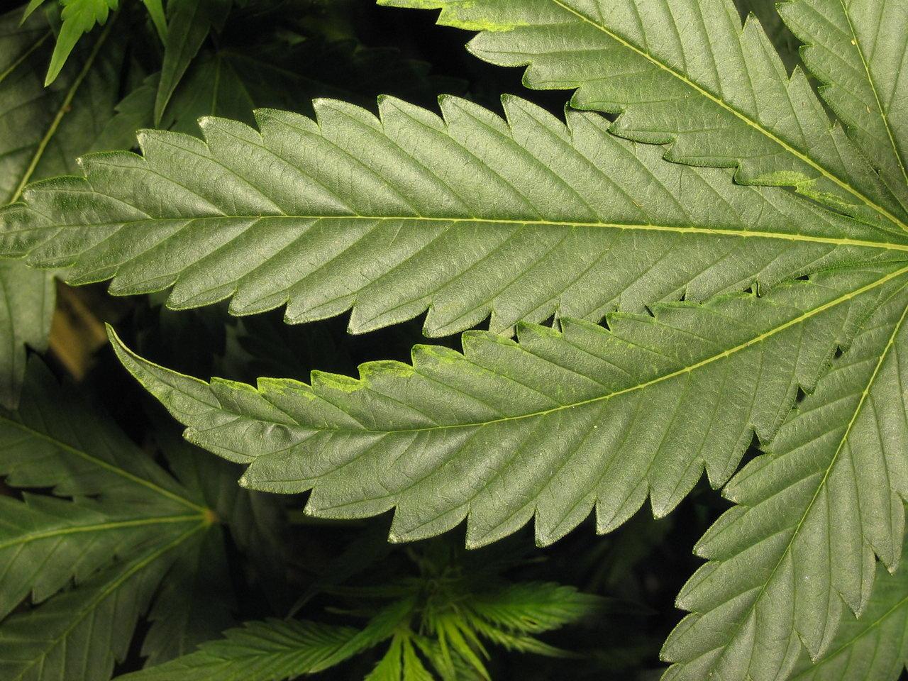 Pale Blotchy Leaves On Bubba Kush Clone Pics