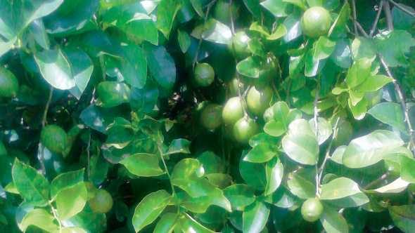 Lemon tree in Florida full of fruit