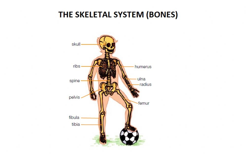 The Skeletal System Exercise