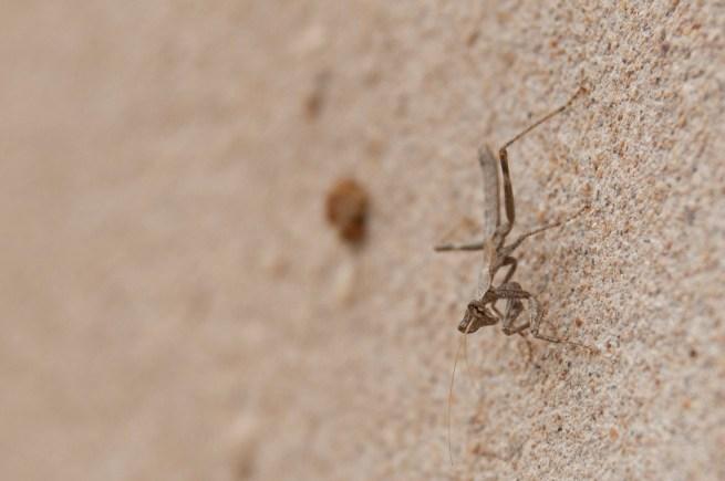 fuerteventura mantis