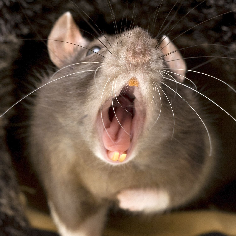 What dreams of a big rat