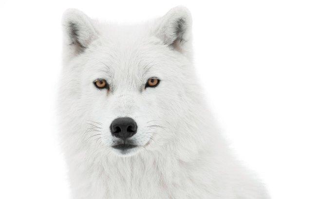 arctic wolf quiz