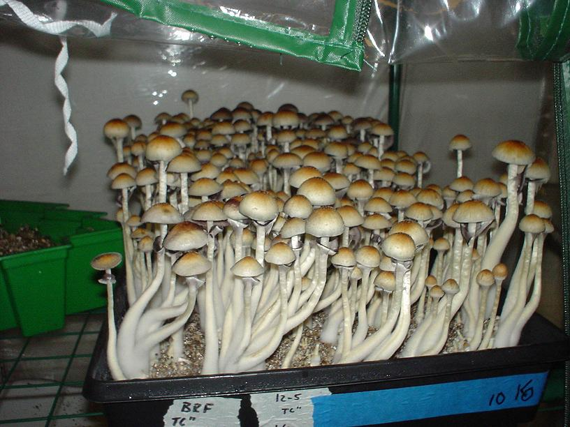 Penis Envy Vs Treasure Coast Mushroom Cultivation
