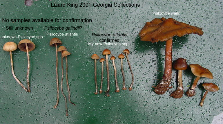 Psilocybe Galindoi Mushroom Hunting And Identification