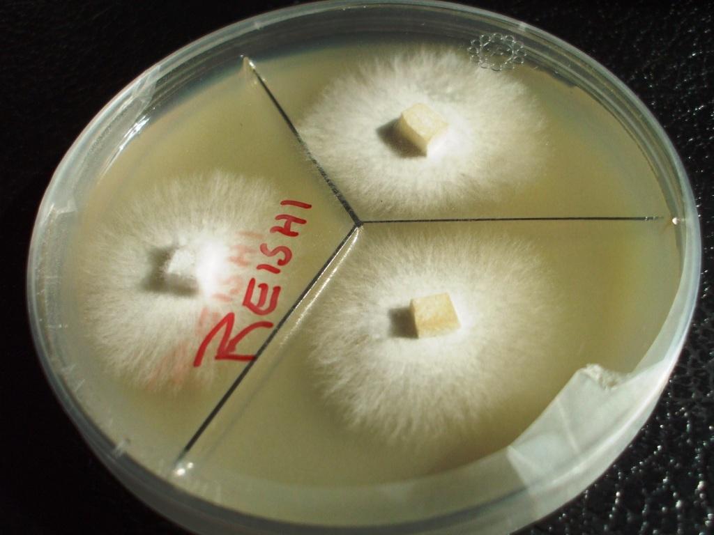 Mycelium On Agar Picture Thread Advanced Mycology