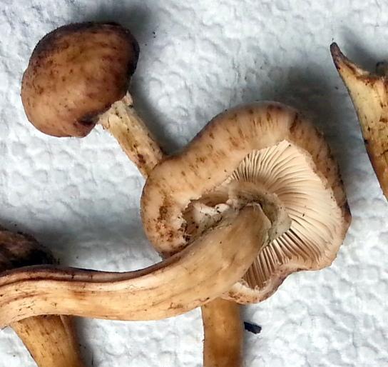 Cyanescens Identification In Oregon