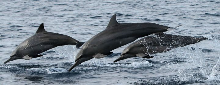 Dolfijnen bij Bohol - Central Visayas, Filipijnen