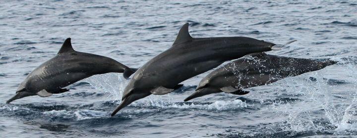 Dolfijnen bij Bohol