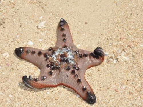 Zeester - Starfish Island, Honda Bay, Palawan, Filipijnen