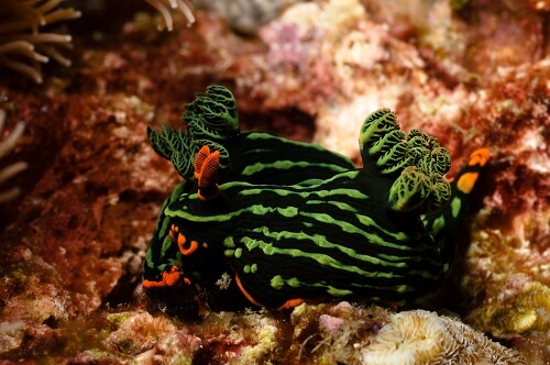 Snorkelen bij Apo Island, Negros Oriental, Central Visayas, Filipijnen