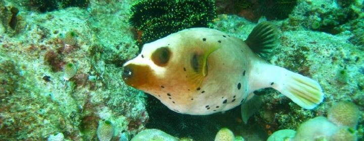Black Spotted Puffer Fish – Apo Island