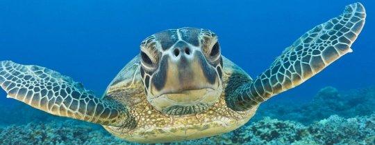 Zeeschildpad - Apo Island, Central Visayas, Filipijnen