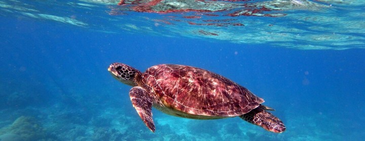 Schildpad in Port Barton, Palawan, Filipijnen