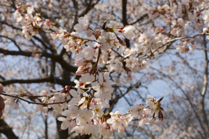 Cherry blossoms bloom for a very limited time, drawing large crowds to High Park every year