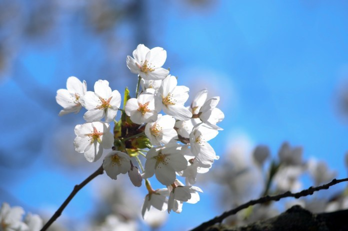 Peak bloom will happen during the Cherry Blossom Festival at High Park
