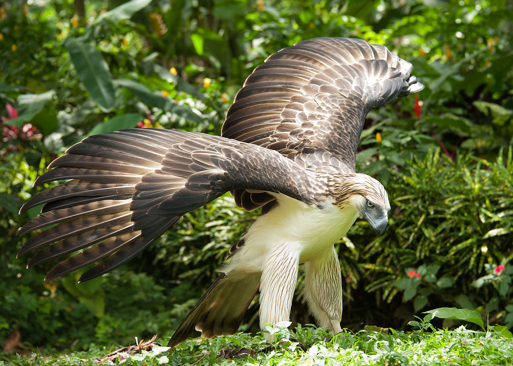 Philippine eagle - Travel to the Philippines wildlife