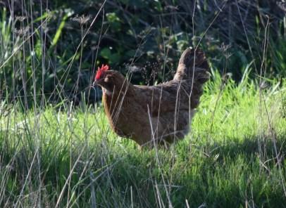 3-26-15 chicken