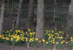 Daffodils in the woods 3-6-15