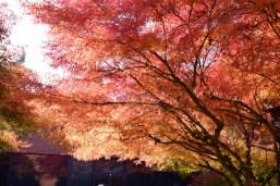 Japanese maple 11-6-15