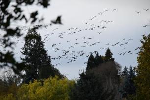 Lots of geese 11-15-15