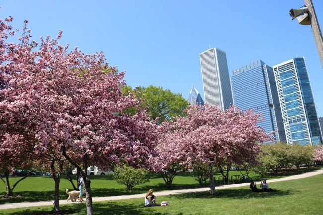 Cherry blossoms in Chicago