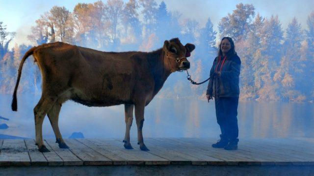 Evie, la vaca protagonista de 'First cow', con su entrenadora.