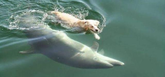 Σκυλί πέφτει στη θάλασσα κάθε μέρα για να κολυμπήσει με ένα δελφίνι (βίντεο)