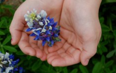 Bluebonnet in Hand
